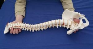 Halteposition für das Rückenmark