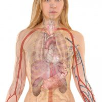 Projektion innerer Organe