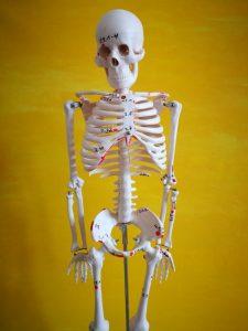 Skelettmodell LNB